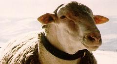 Couvertures en pure laine vierge, la Blanche du Massif Central