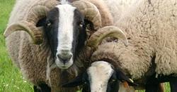 Couverture en pure laine vierge, la Bizet